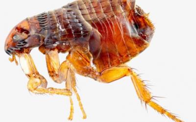 حشرة البرغوث